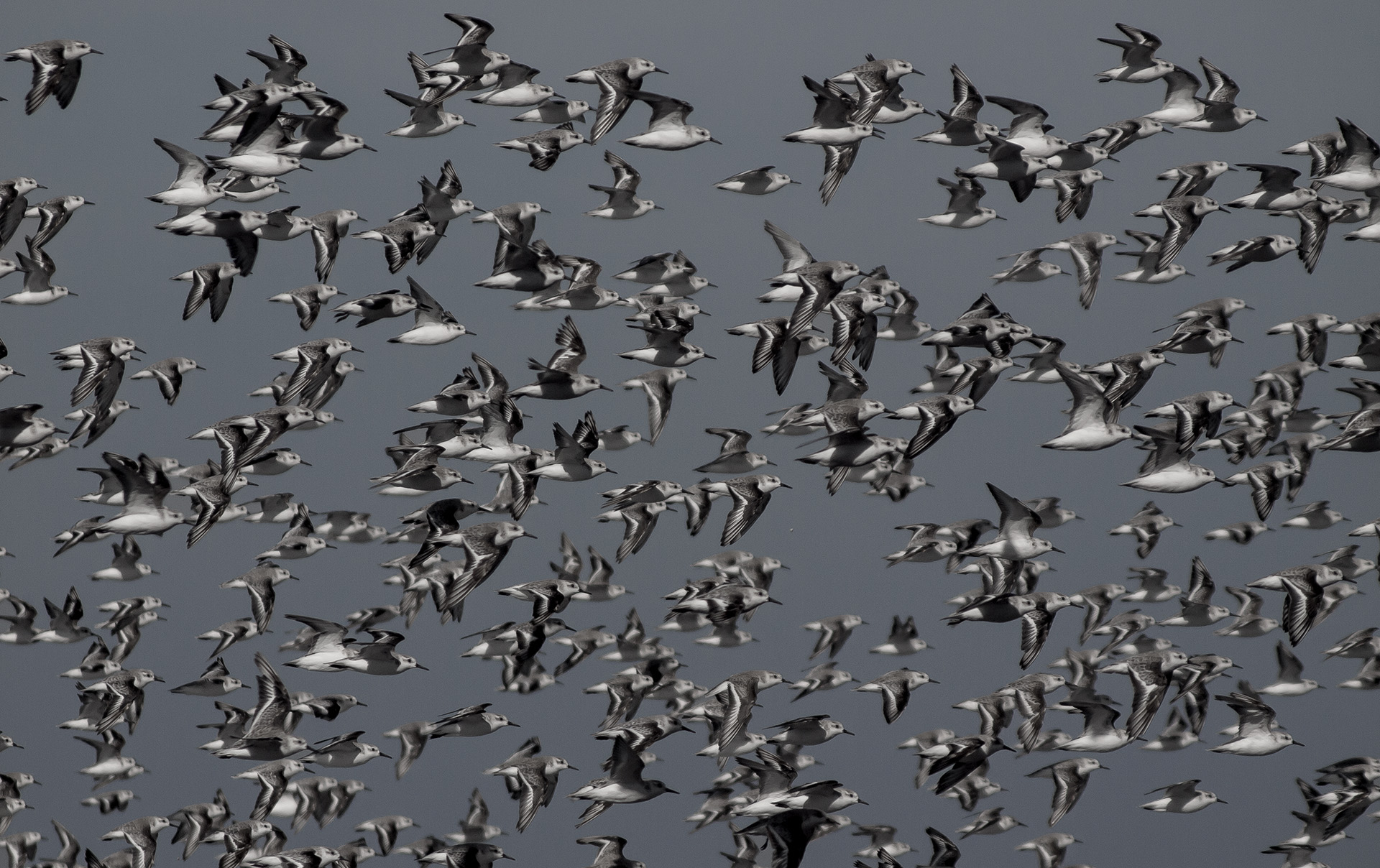 Quantum biology may help explain aspects of life that still confound us, such as bird migrations.   Rafael Edwards/Flickr  (CC BY-NC 2.0)