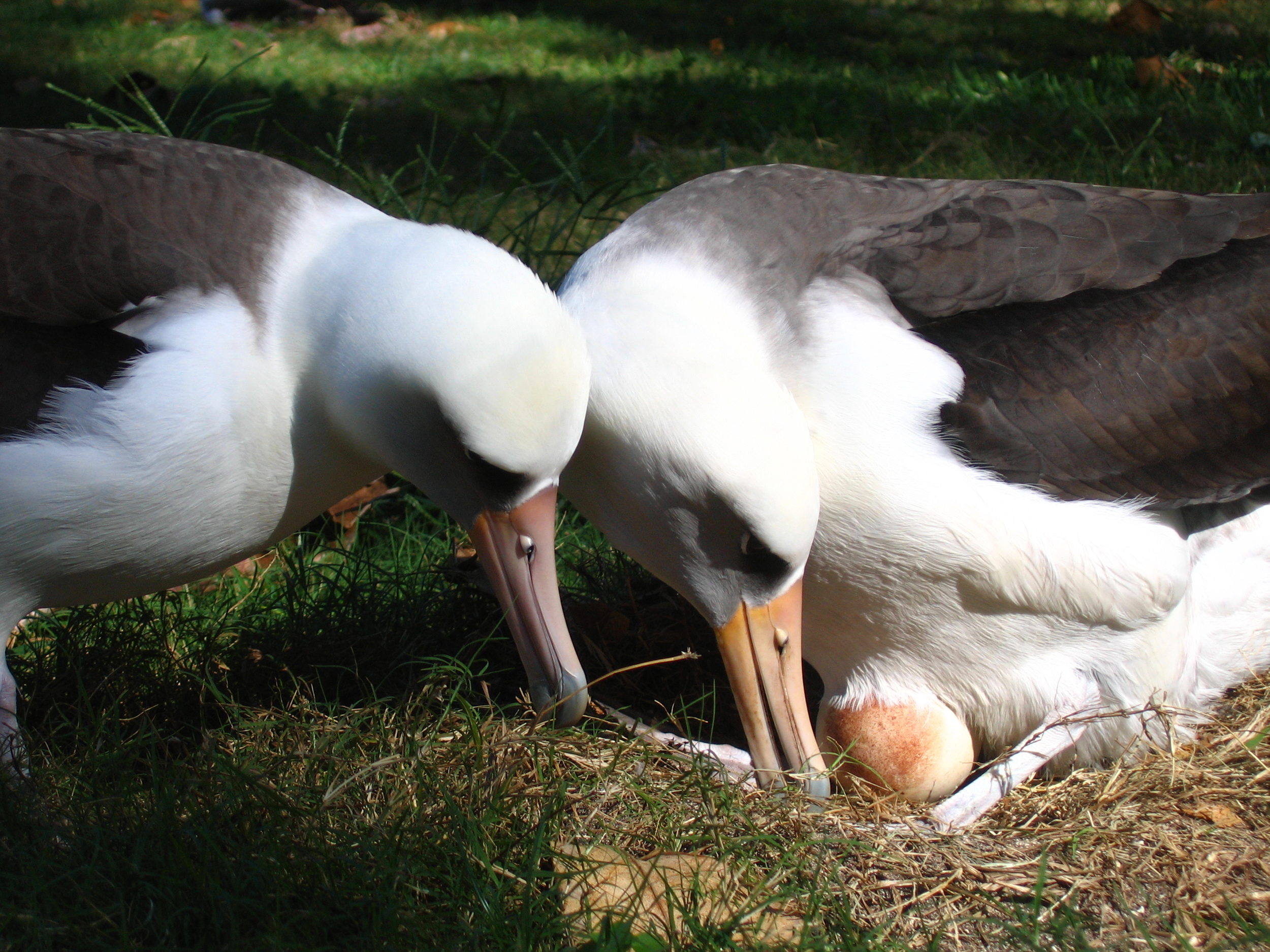 Laysan albatrosses raise their offspring as a mating pair, but not necessarily with a member of the opposite sex.   David Patte, U.S. Fish and Wildlife Service/Flickr  (CC BY 2.0)