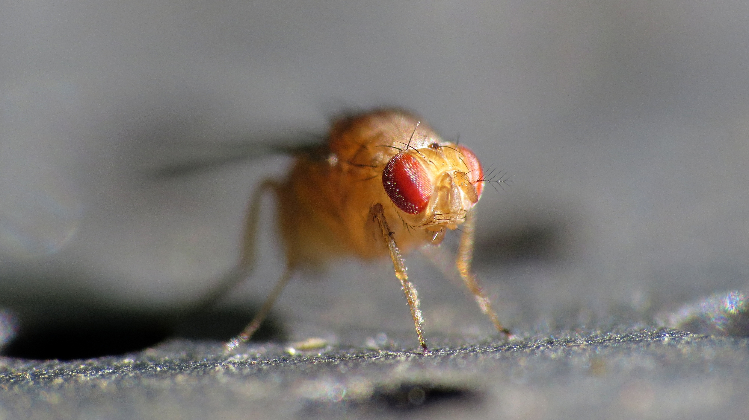 The misexpression of a gene can trigger male-male courtship in fruitflies.   John Tann/Flickr  (CC BY 2.0)