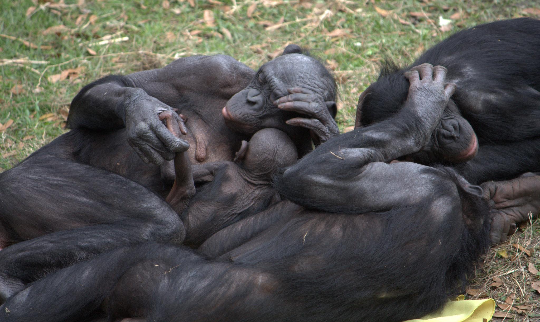 Sexual behaviours, both heterosexual and homosexual, foster social ties in bonobos.   LaggedOnUser/Flickr  (CC BY-SA 2.0)