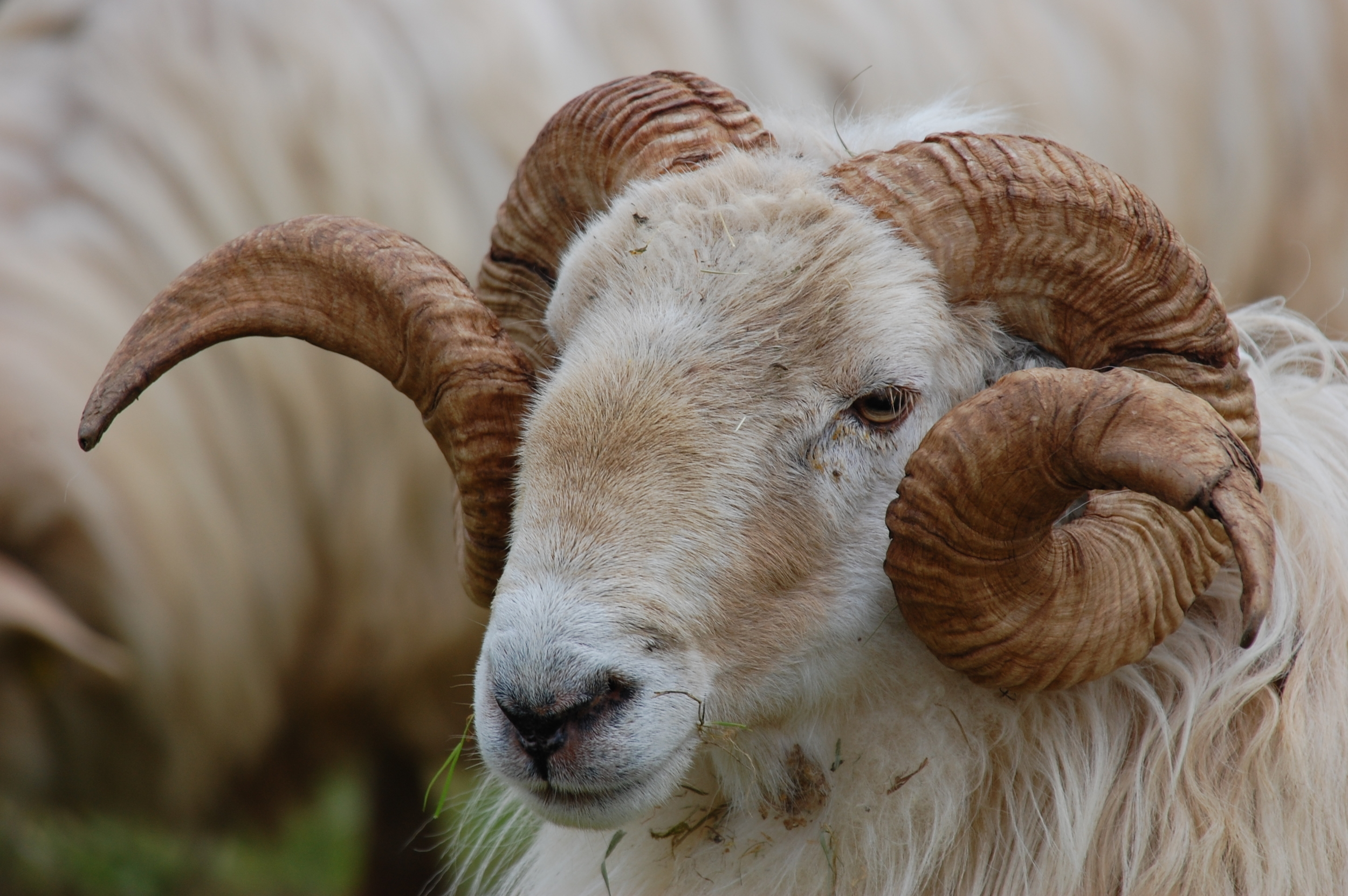 8-10% of domestic rams show a preference for a male partner.   Markel Olano/Flickr  (CC BY-SA 2.0)