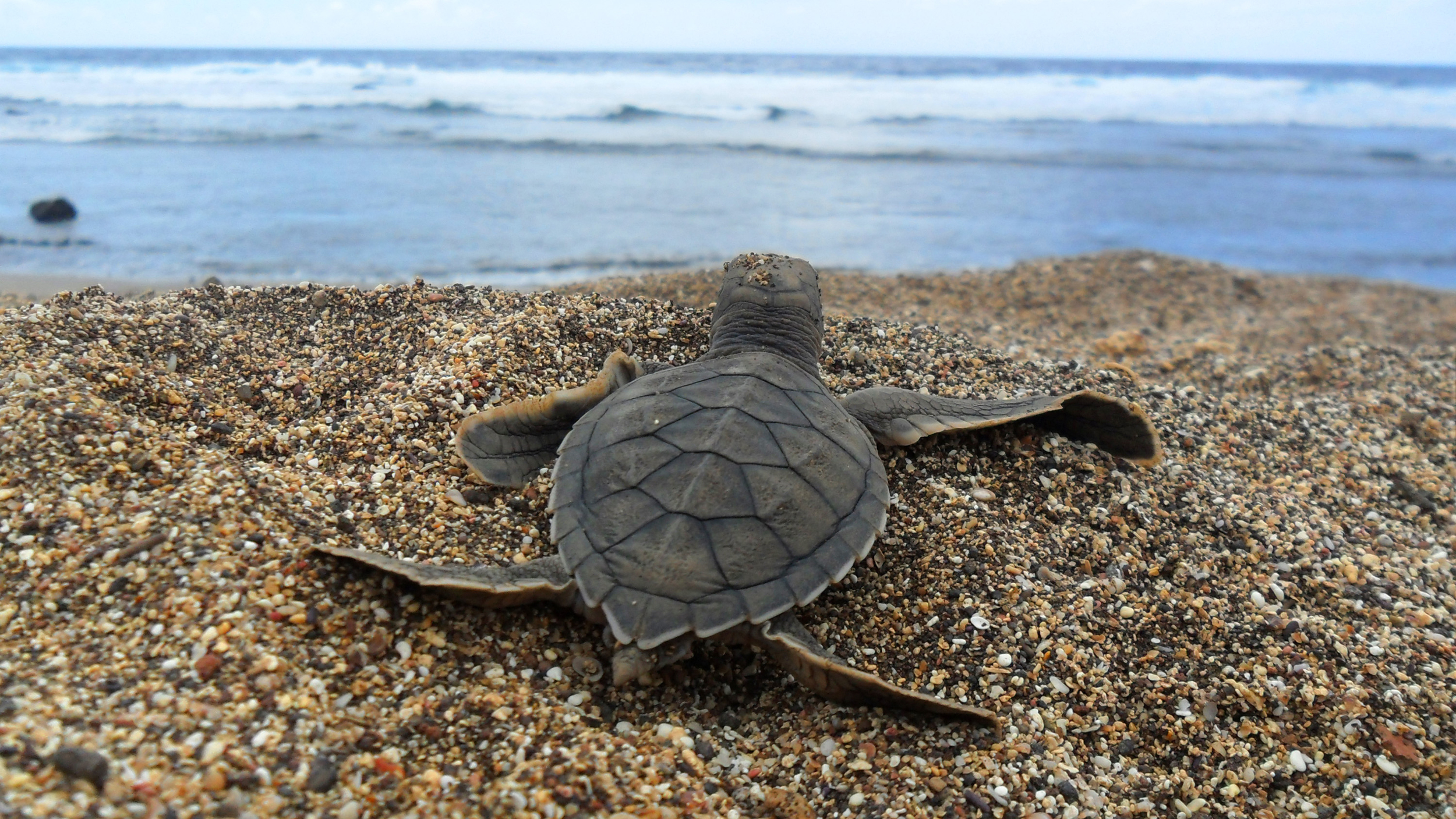 A sea turtle hatchling about to head out to sea.   Banco de Imagem/Flickr  (CC BY-SA 2.0)