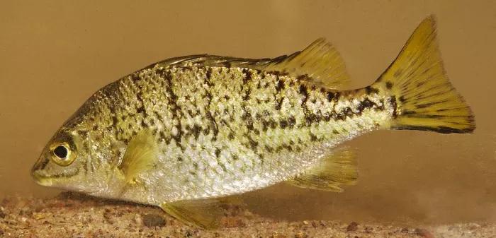 Amniataba species 1 ,© Matt Le Feuvre/James Shelley