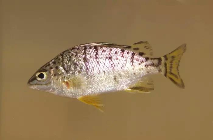 Amniataba species 2 ,© Matt Le Feuvre/James Shelley