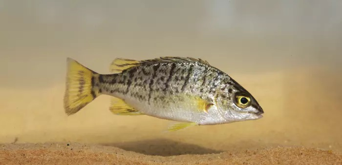 Amniataba species 3 ,© Matt Le Feuvre/James Shelley