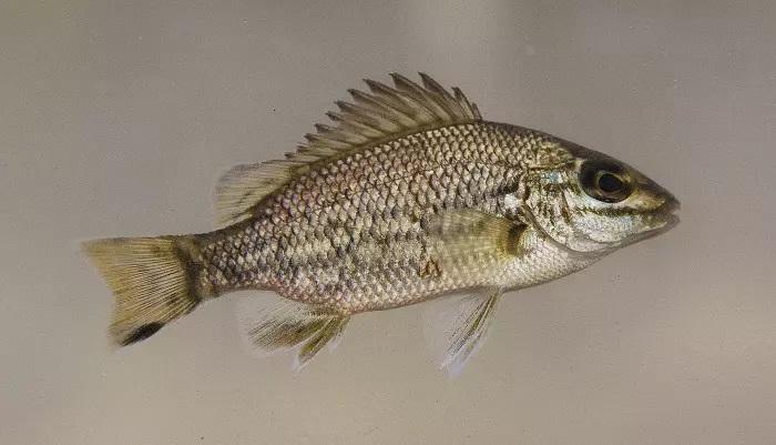 Amniataba species 4 ,© Matt Le Feuvre/James Shelley