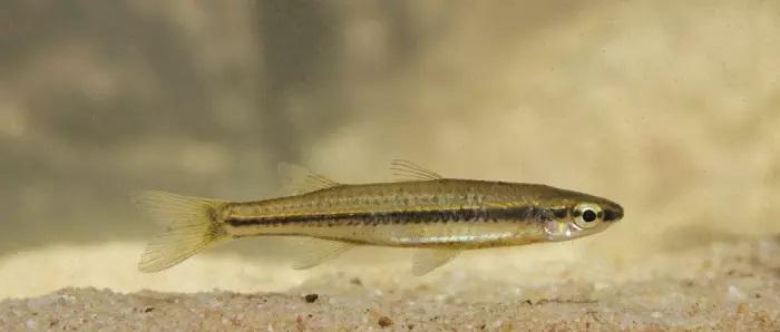 Craterocephalus species 1 ,© Matt Le Feuvre/James Shelley