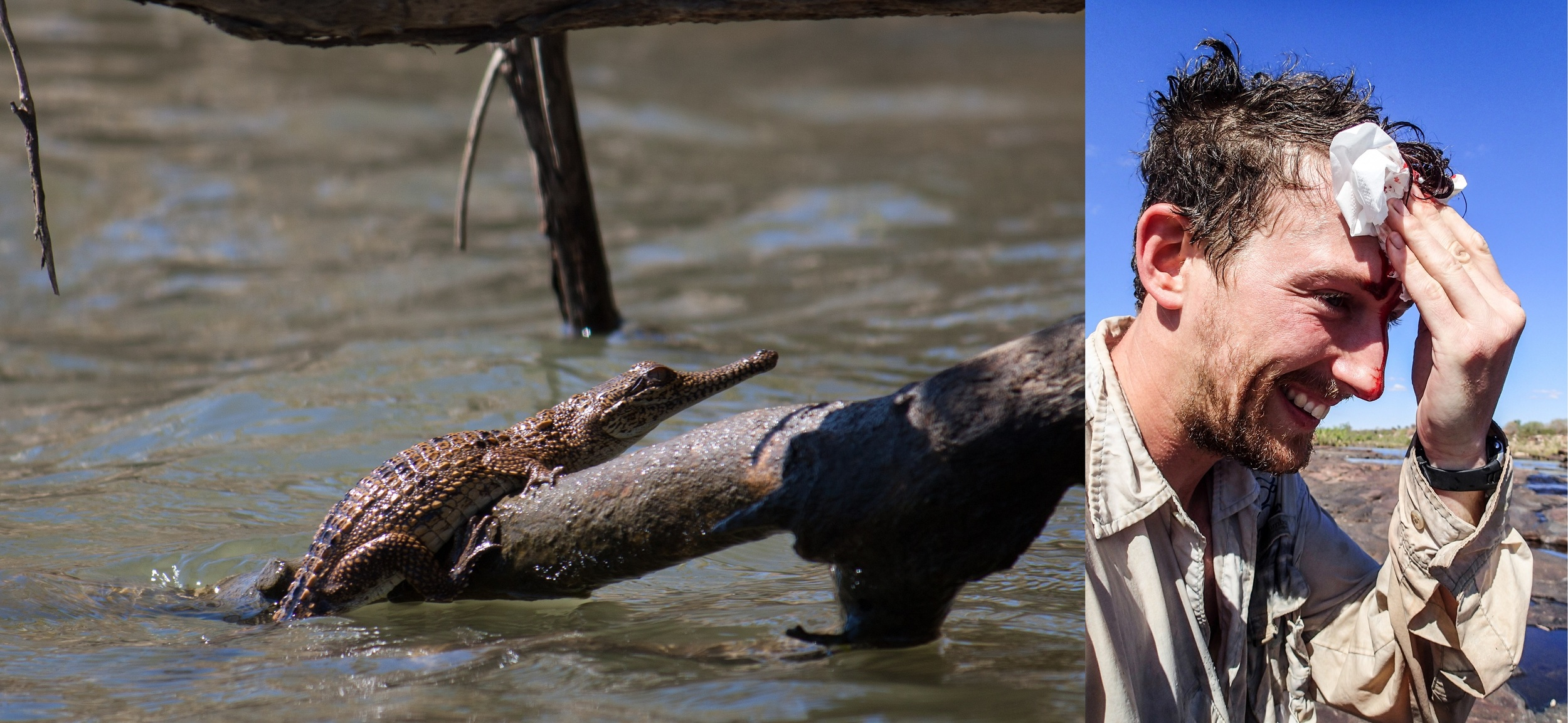 Freshwater crocodiles (left) are less dangerous than salties, but can still pack a punch, as James Shelley found out (right) . © Matt Le Feuvre.
