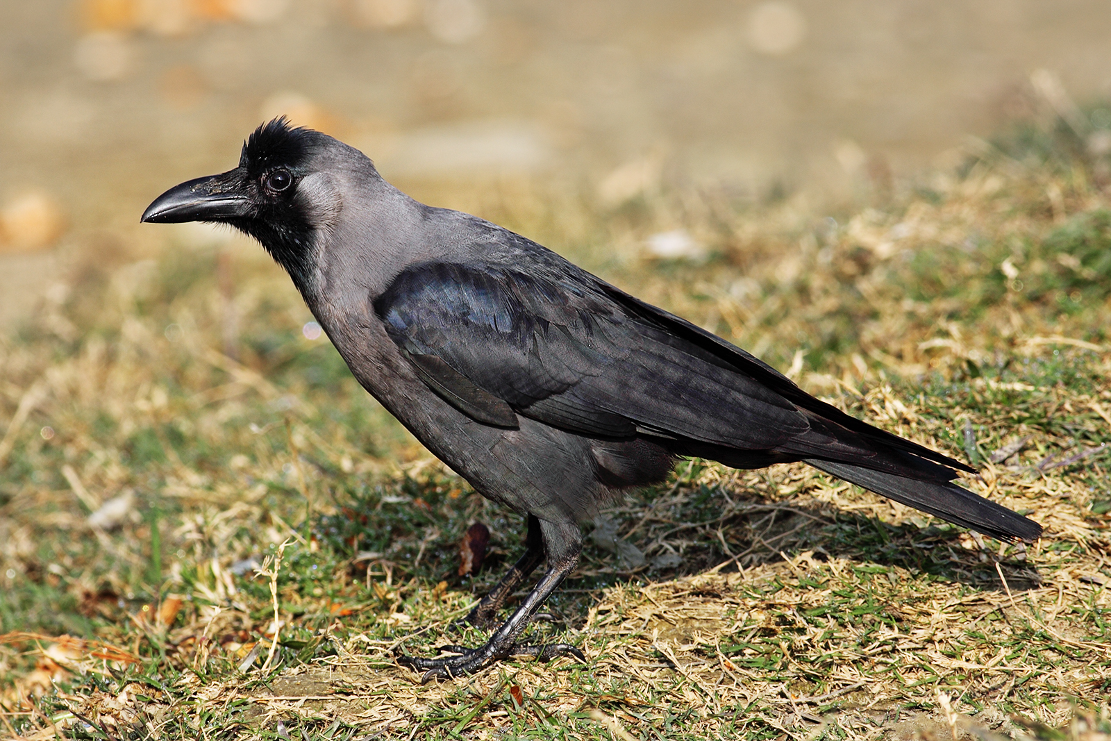 An invasive house crow, native to southern Asia, was falsely reported in Melbourne's CBD in 2014.   Benjamint444/Wikimedia Commons  (GNU FDL 1.2)