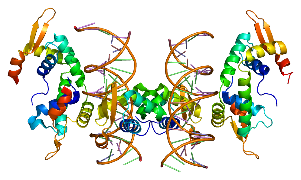 The structure of the FOXP2 protein, which is important for the development of speech.   Emw/Wikimedia Commons  (CC BY-SA 3.0)