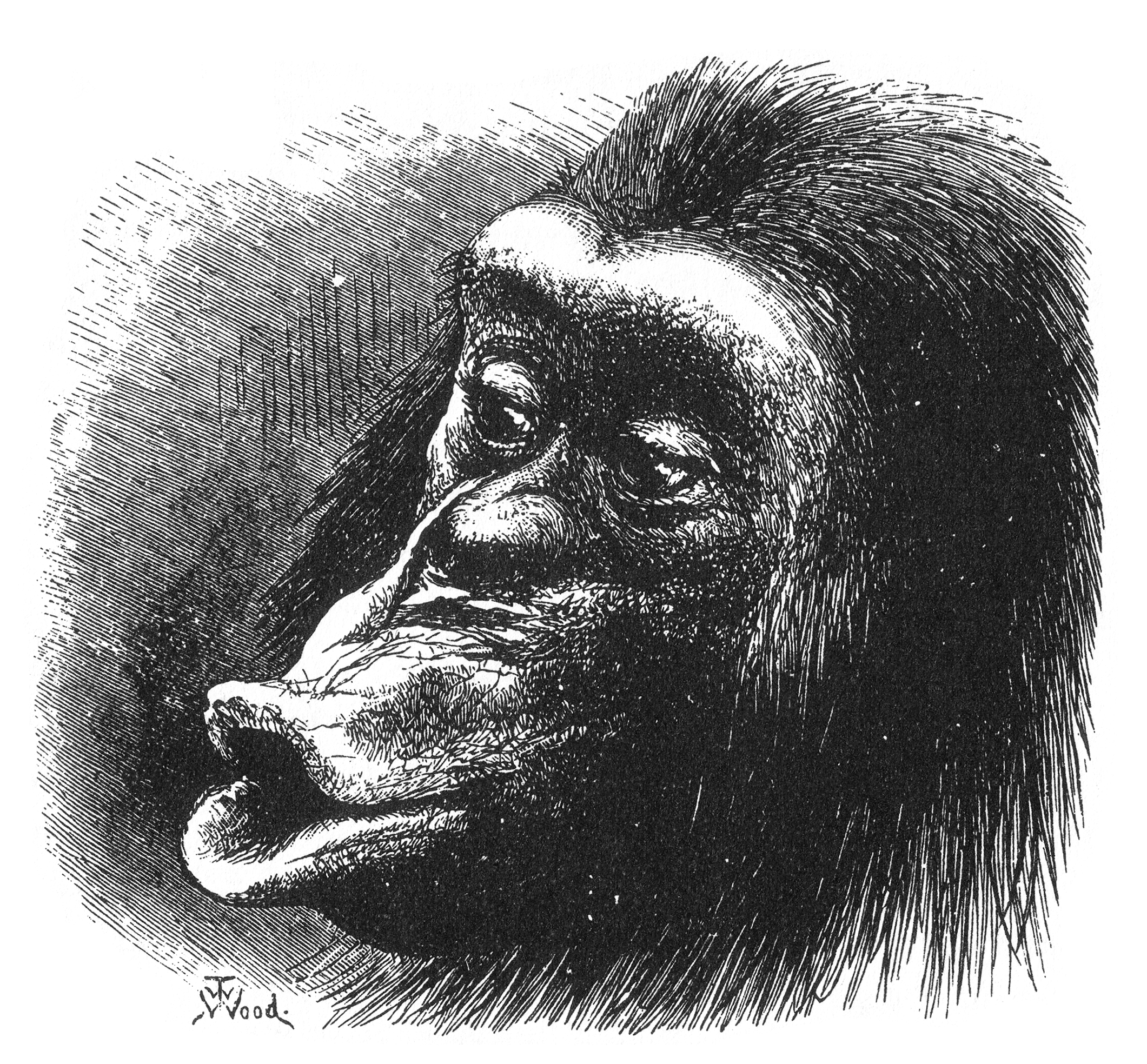 Non-human primates are less able to produce complex sounds.   T.W. Wood/Wikimedia Commons  (public domain)