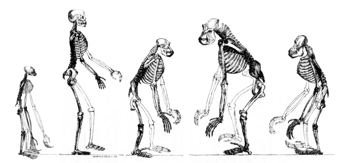 The evolutionary changes that led to modern humans were not necessarily logical nor straightforward.   T.H. Huxley/Wikimedia Commons  (public domain)