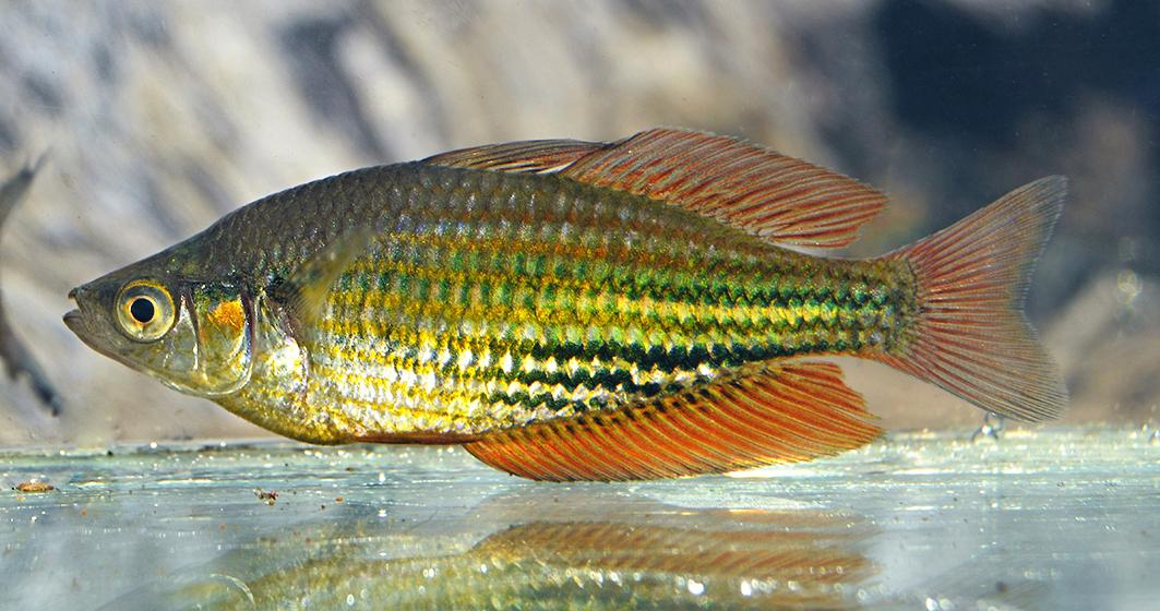 A male Running River rainbowfish. © Steve Hume