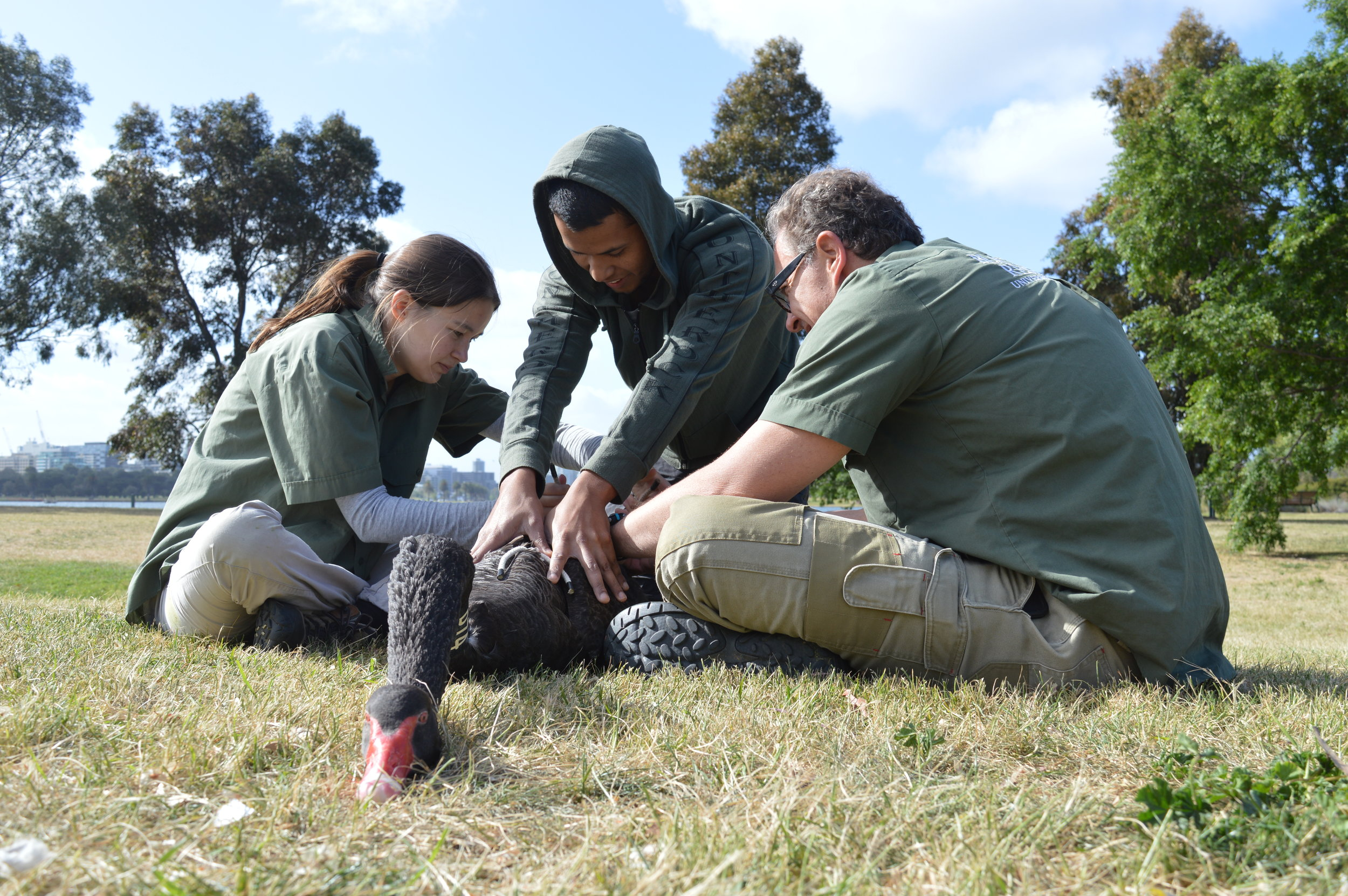 University of Melbourne researchers Anne Aulsebrook (left) and Raoul Mulder (right), assisted by a volunteer, process a black swan at Albert Park, Melbourne. © Andrew Katsis