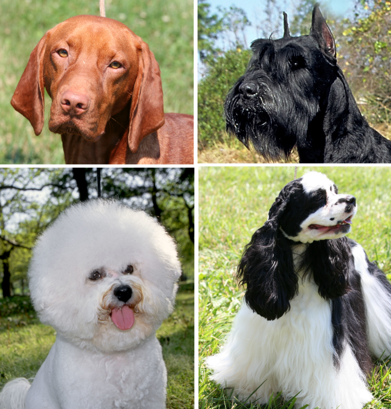 The modern dog is remarkably diverse, with over 400 breeds currently recognised.   Mary Bloom/Shearin and Ostrander  (CC BY)