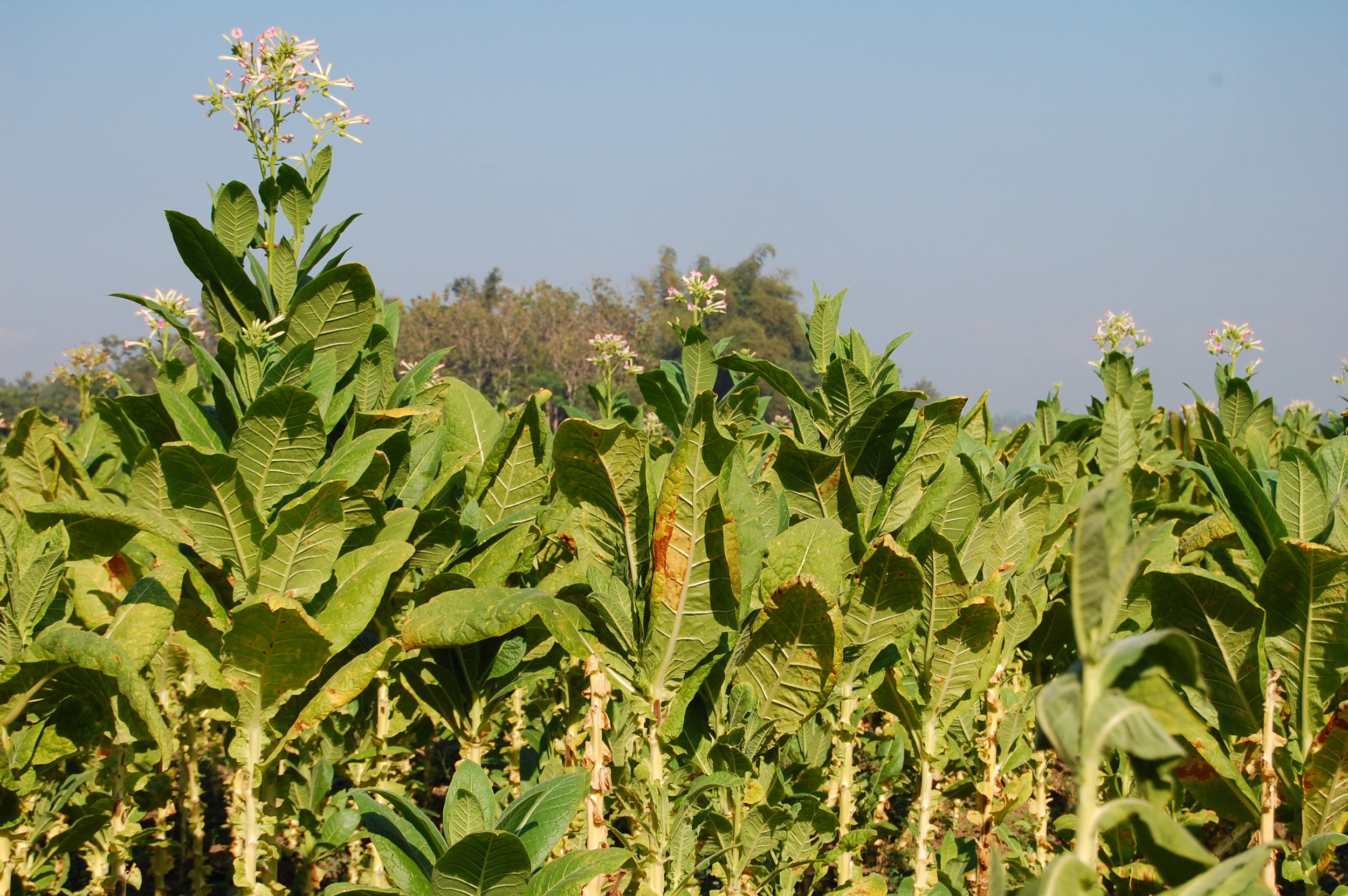 Using genetic engineering, researchers produced tobacco plants with increased productivity.  Ikhlasul Amal/Flickr  (CC BY-NC 2.0)