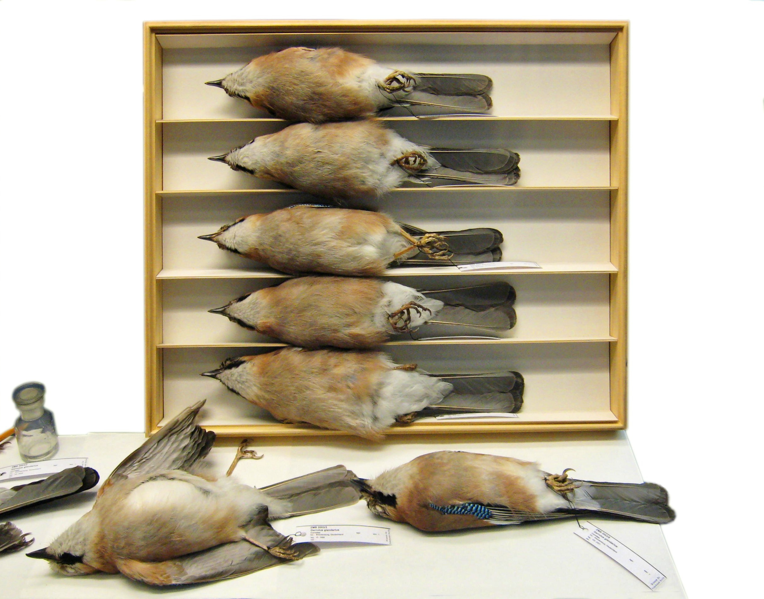 Study skins of Eurasian Jays at the Berlin Naturkundemuseum.    LoKiLeCh/Wikimedia Commons  (CC BY 3.0)