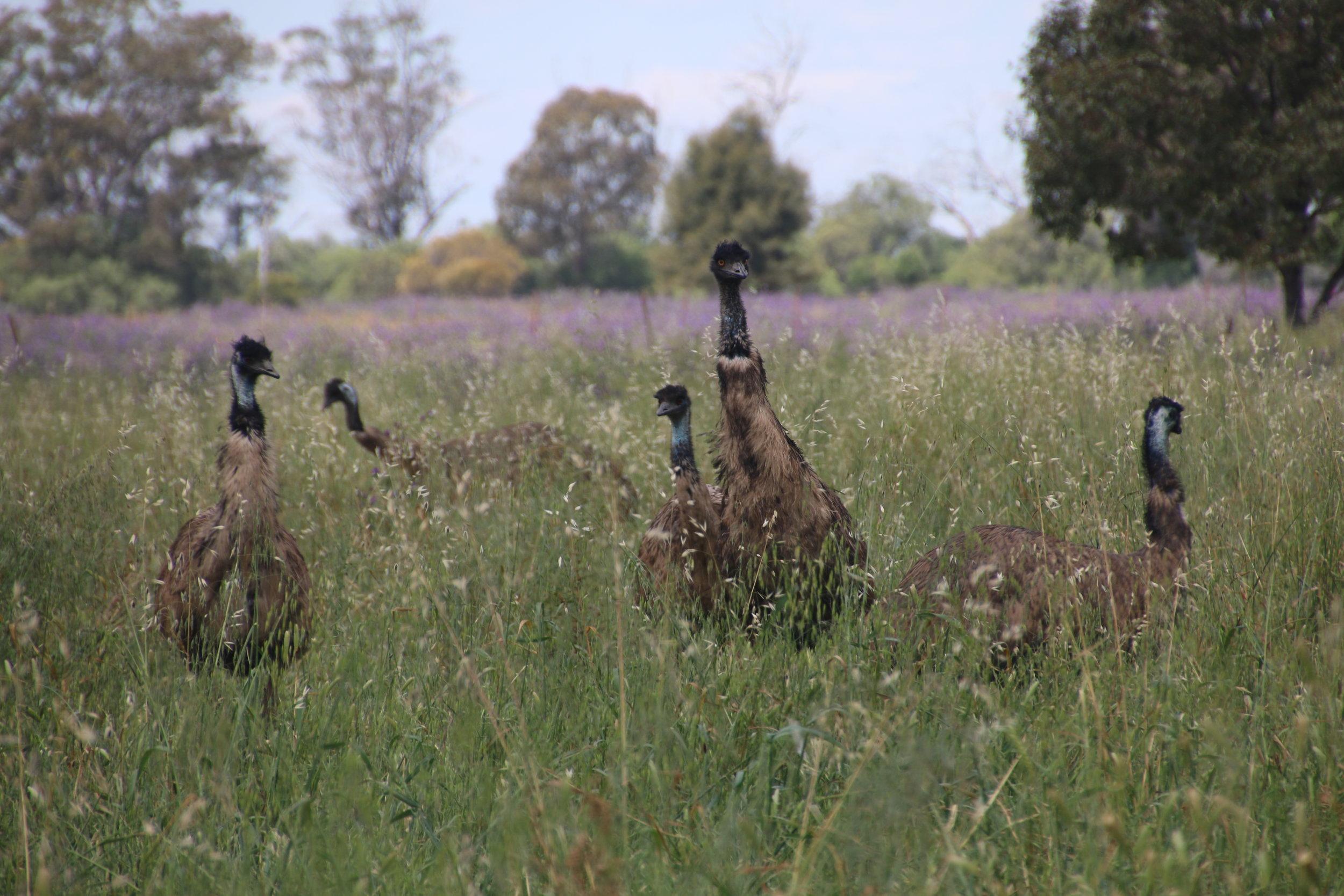 Despite their size, emus can be surprisingly cryptic. © Julia Ryeland