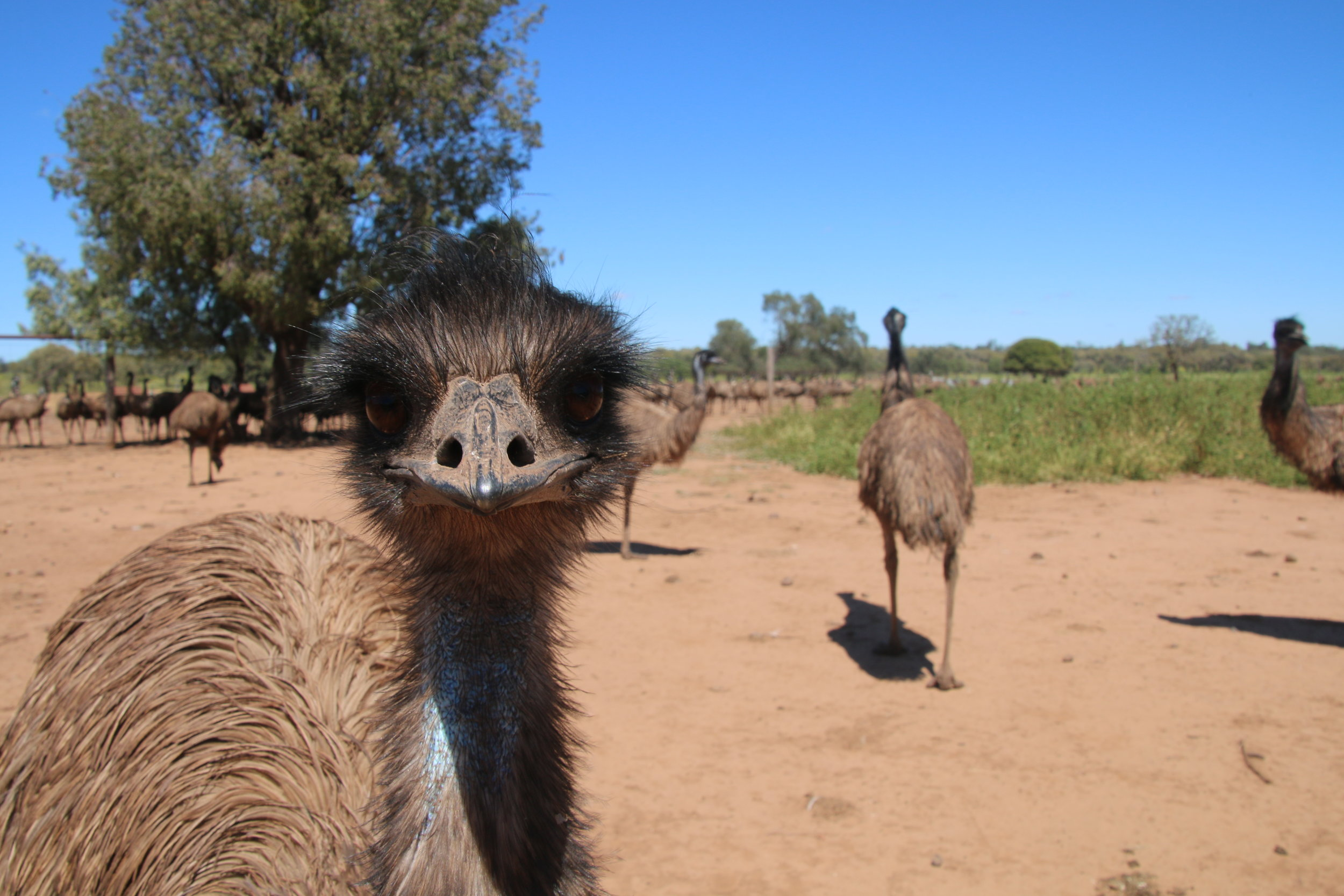 Emus have been studied in a farm environment, but rarely in the wild. © Julia Ryeland