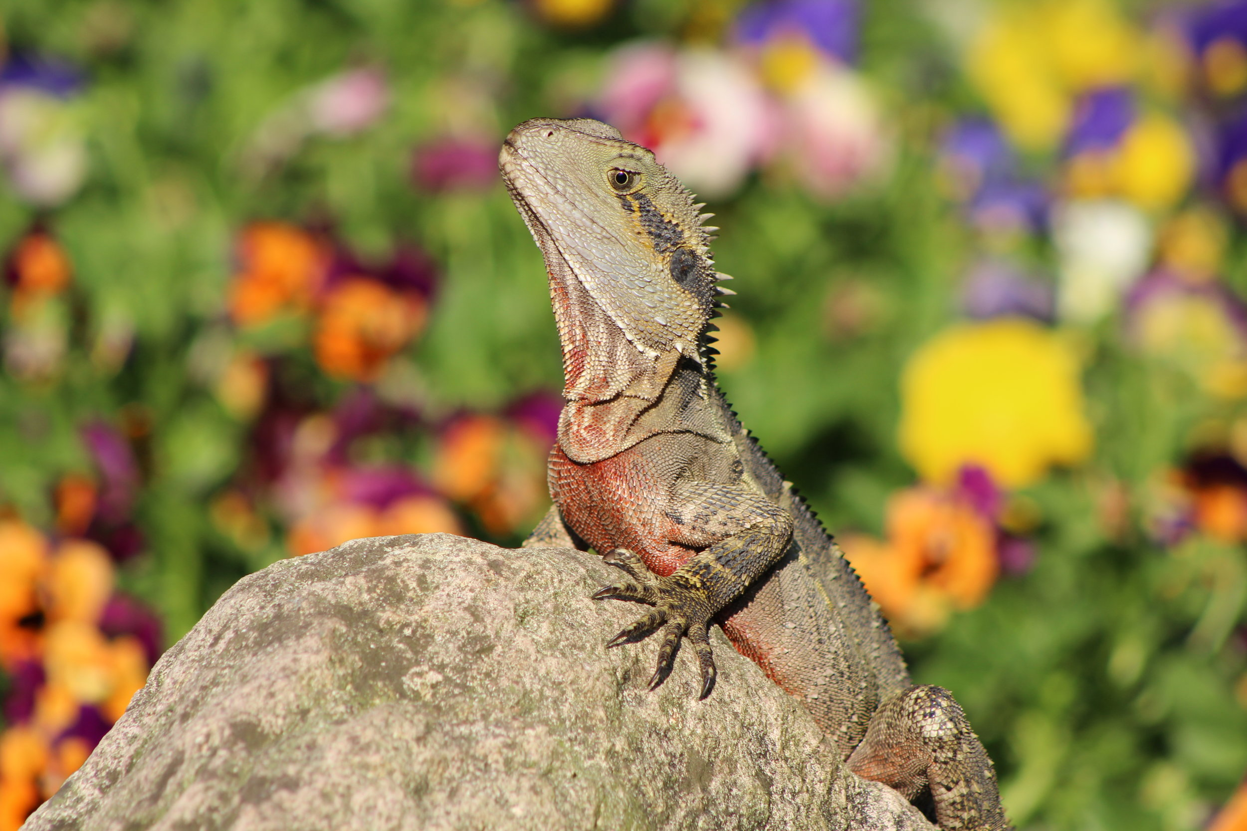 PhD researcher Kasha Strickland is studying sociality in Brisbane's water dragons.  © Kasha Strickland