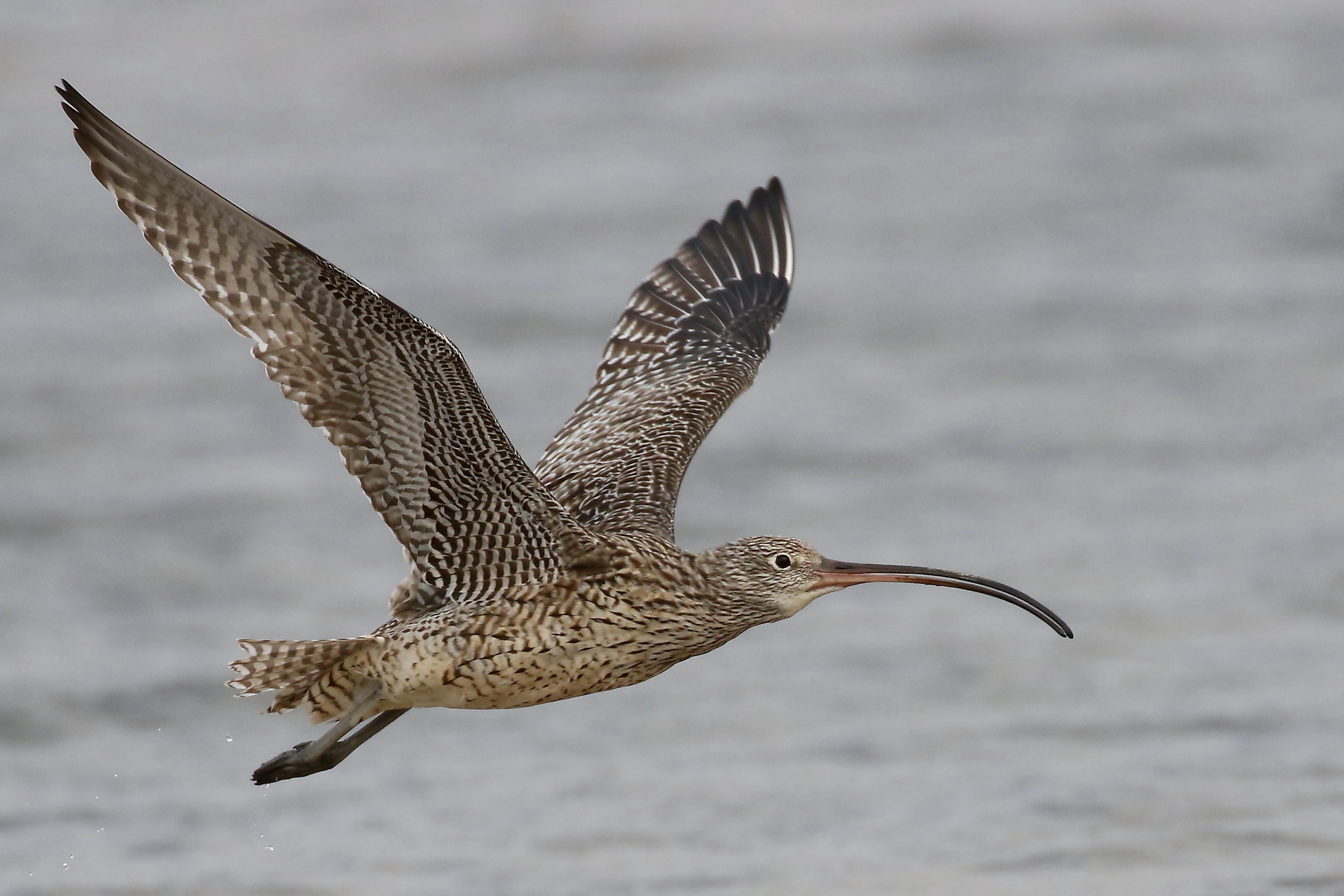 An eastern curlew. © Bill Betts.