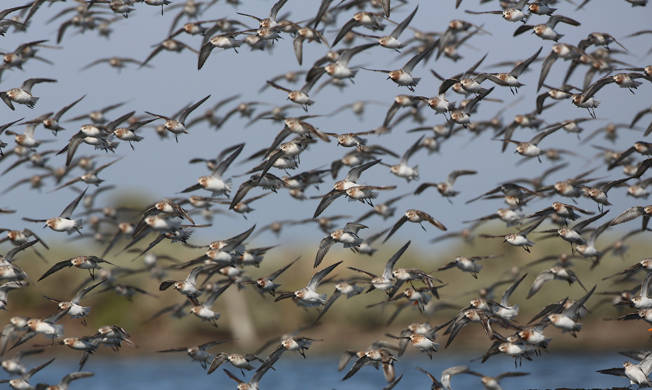 A flock of red-necked stints. © Dan Weller