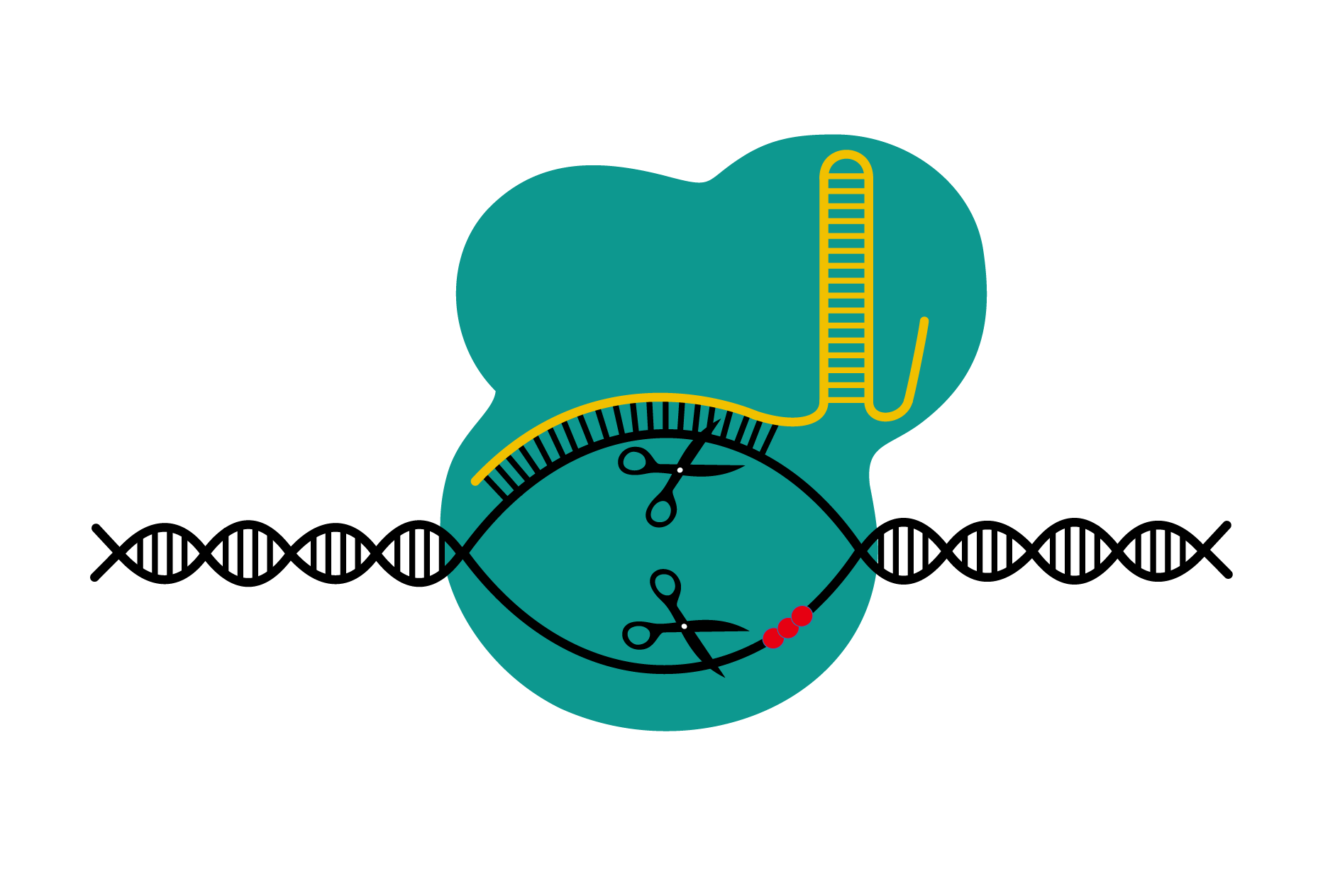 CRISPR/Cas9 acts like a pair of molecular scissors and gives researchers the ability to edit genes with less time and labour than most other molecular biology tools.   DBCLS TV/Wikimedia Commons  (CC BY 4.0)