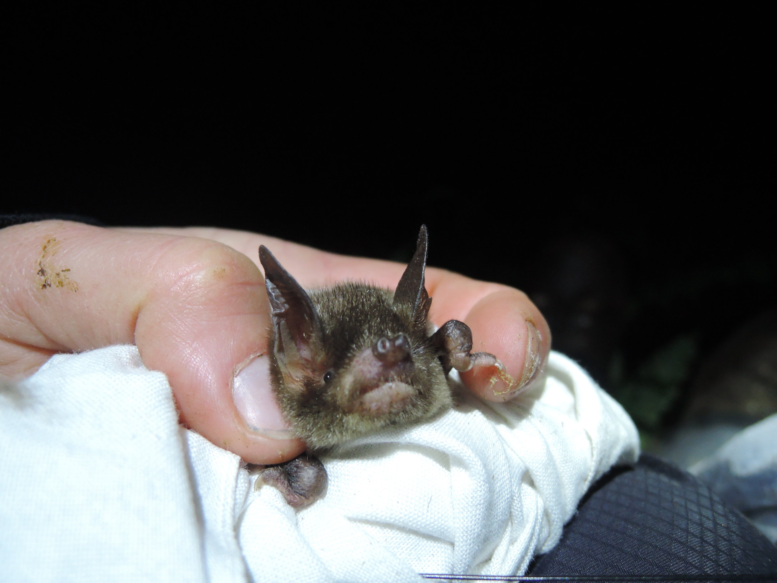 A New Zealand lesser short-tailed bat. © Kathleen Collier.