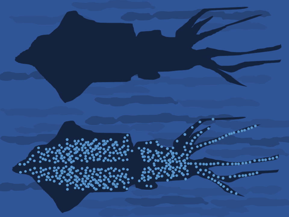 Diagram showing bioillumination in the firefly squid ( Watasenia scintillans ).   Chiswick Chap/Wikimedia Commons (CC BY-SA 4.0)