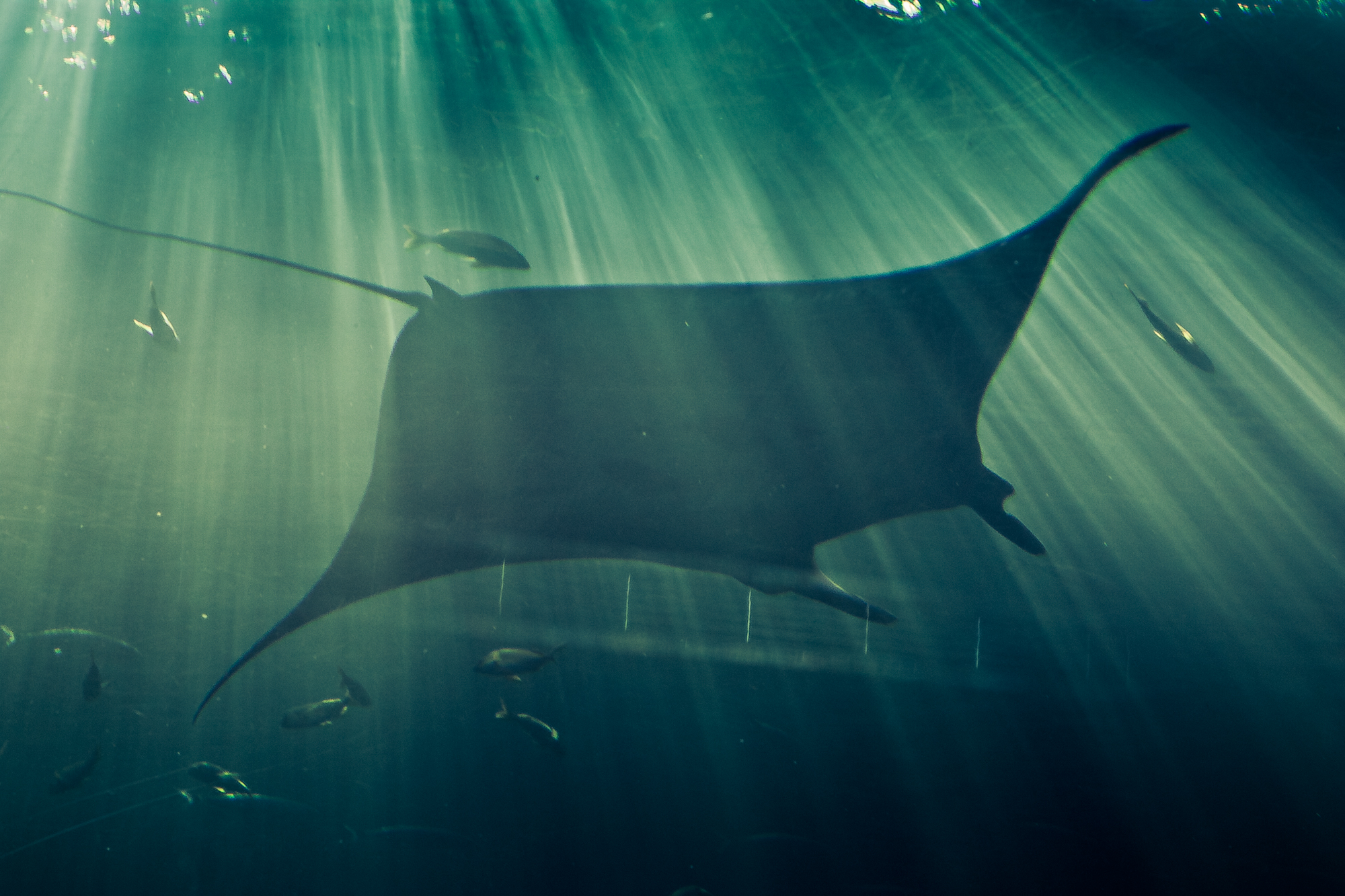 The two species of manta ray now have a new genus.  Shannon O'Toole/Flickr  (CC BY-NC-ND 2.0)