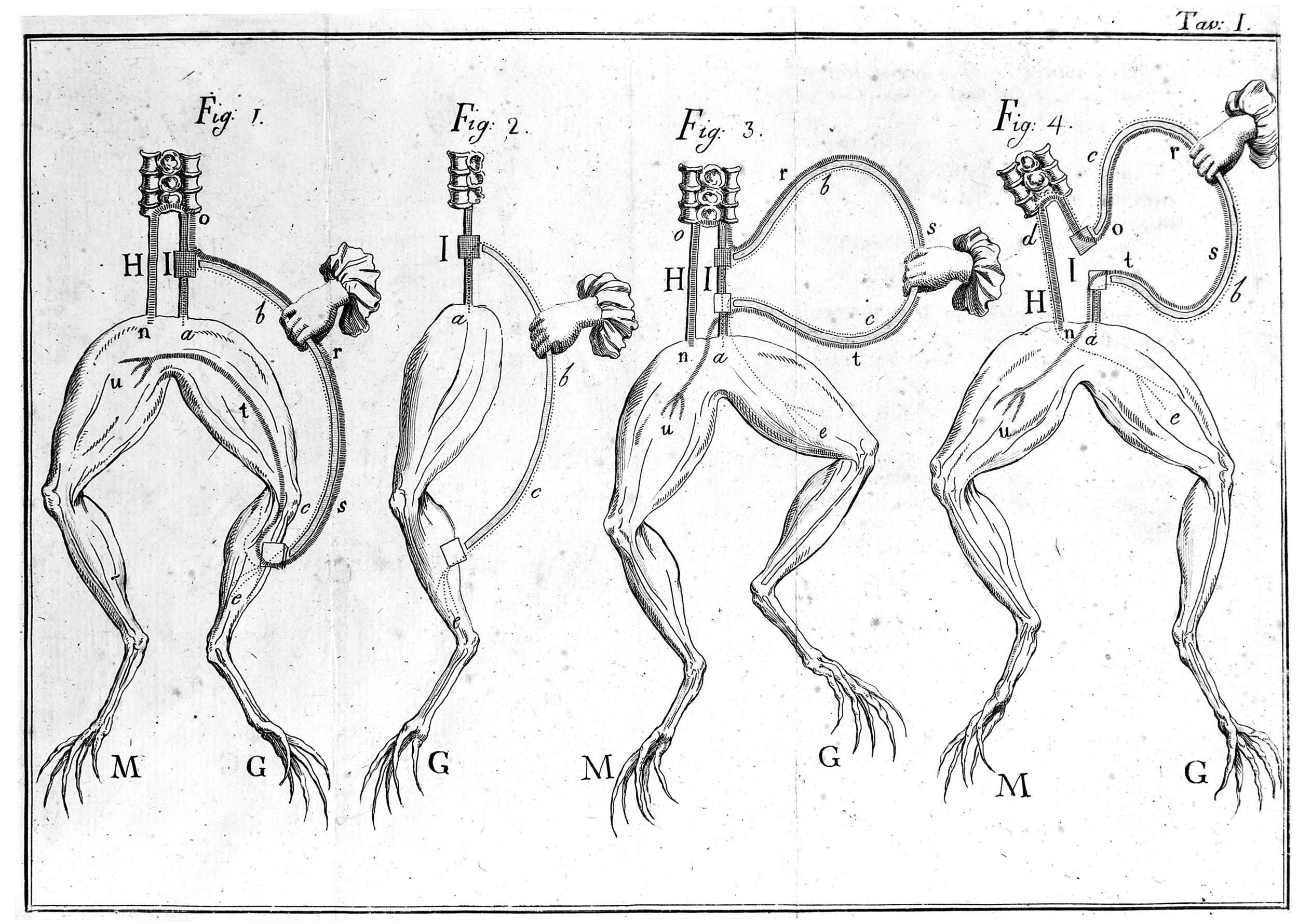 1793 diagram illustrating the sciatic nerve experiment Galvani performed in frogs.  Wellcome Images/Wikimedia Commons  (CC BY 4.0)