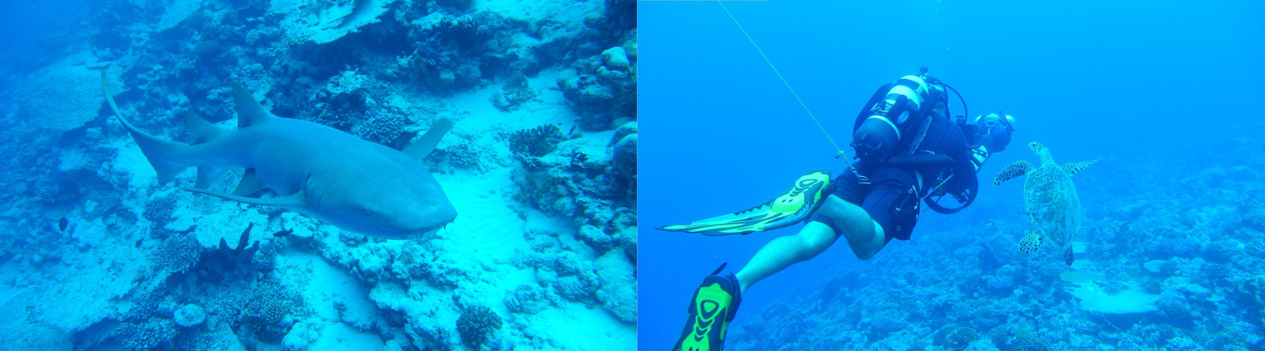 Close encounters with curious reef inhabitants, including a tawny reef shark and a sea turtle. © Kristen Brown
