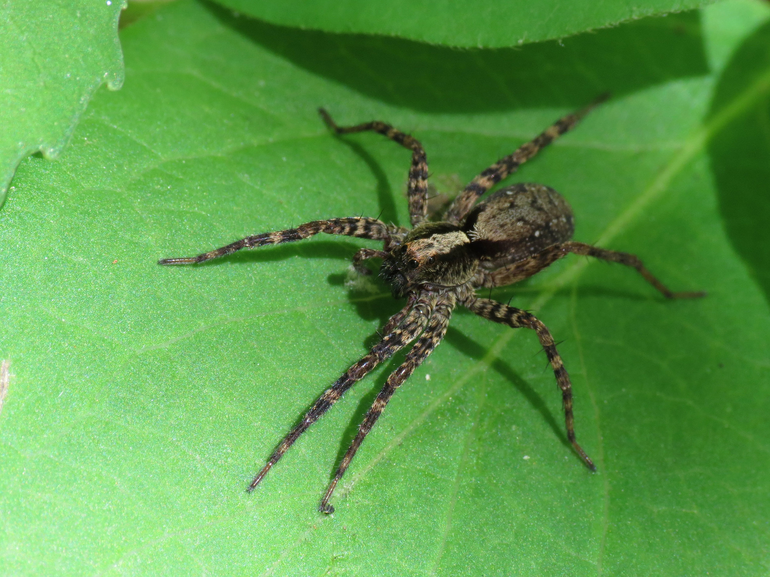 Many small invertebrates, such as the wolf spider, use vibrations to find each other.   Katja Schulz/Flickr  (CC BY 2.0)