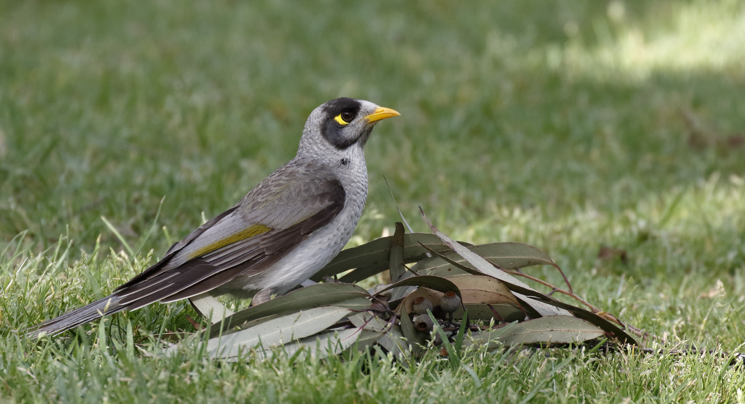 Noisy miners are one native species that has thrived in urbanised areas.   Dave Curtis/Flickr  (CC BY-NC-ND 2.0)