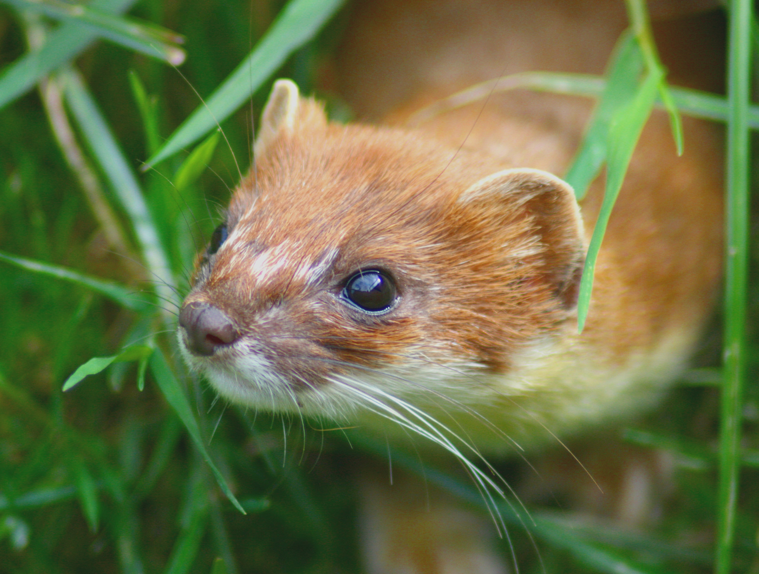 Gene drive technology is being explored as a control measure for New Zealand's introduced mammals, including stoats, rats and possums.   Kevin Law/Wikimedia Commons  (CC BY-SA 2.0)