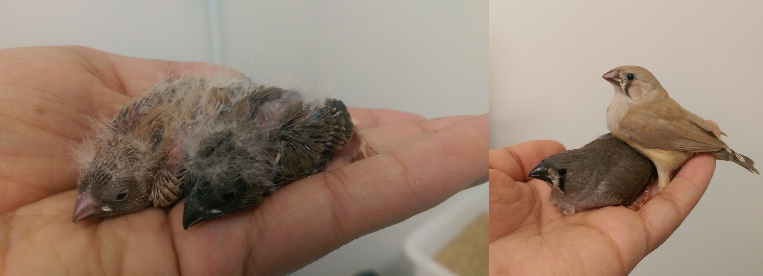 Two zebra finch offspring used in the experiment, as nestlings (left) and later as near-fledglings (right). © Anna Miltiadous