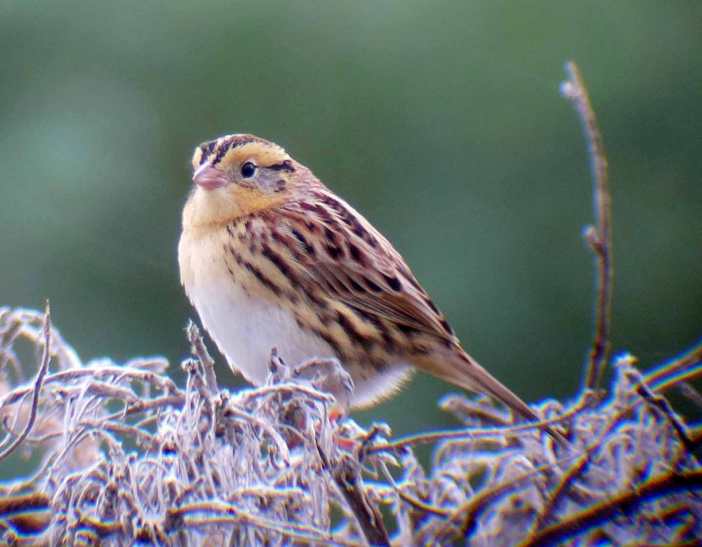 A Le Conte's Sparrow (Ammodramus leconteii), identified in Marin County, California during the 2014 Christmas Bird Count, which has been running since 1900 .  K Schneider/  Flickr  (CC BY-NC 2.0)