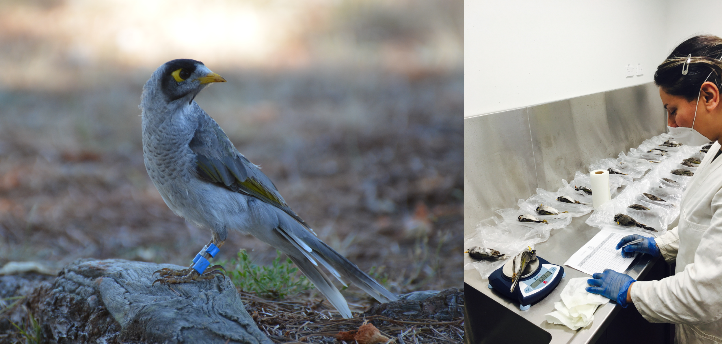 A noisy miner in a wild study population (left), and PhD researcher Farzaneh Etezadifar with the victims from an experimental miner cull (right).  © Paul McDonald; © Amrit Kaur