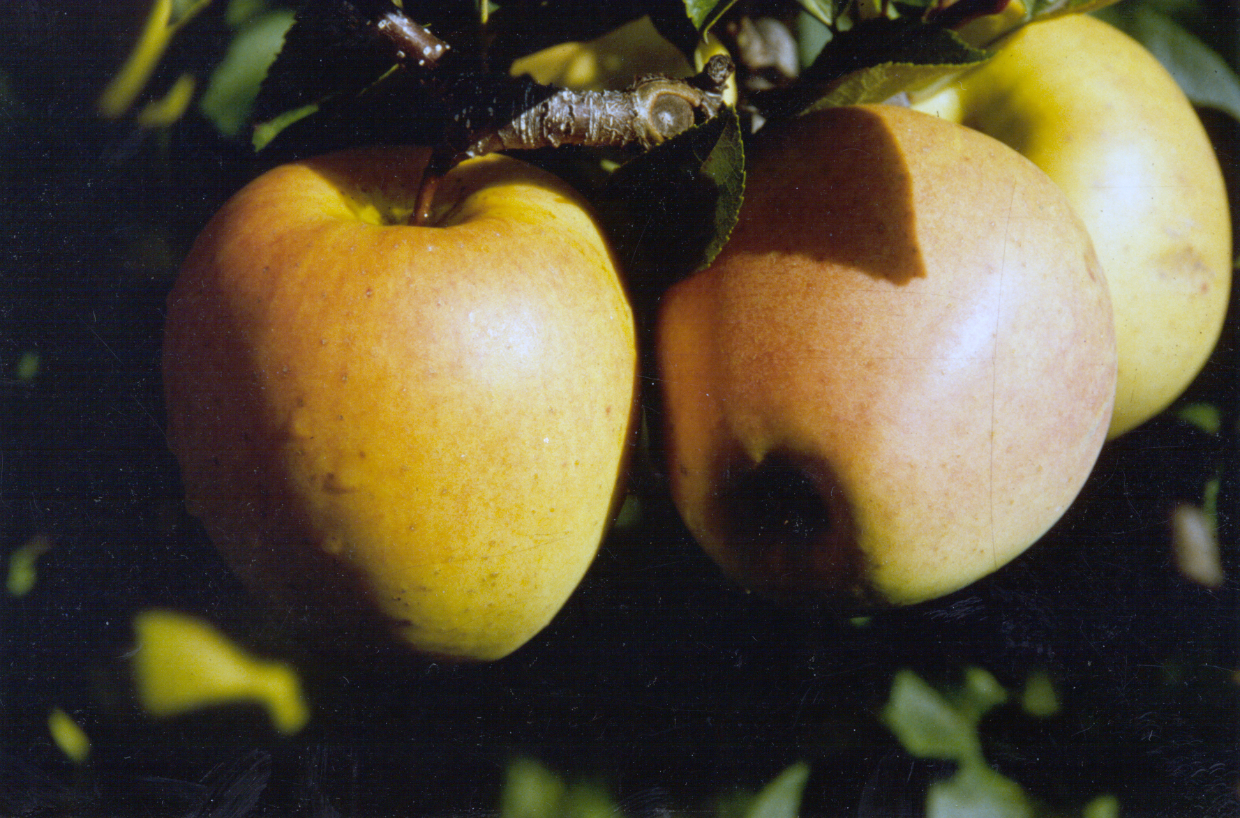 The apple variety Golden Haidegg was created in the 1980s by irradiating the Golden Delicious cultivar.   International Atomic Energy Agency/Flickr  (CC BY-SA 2.0)
