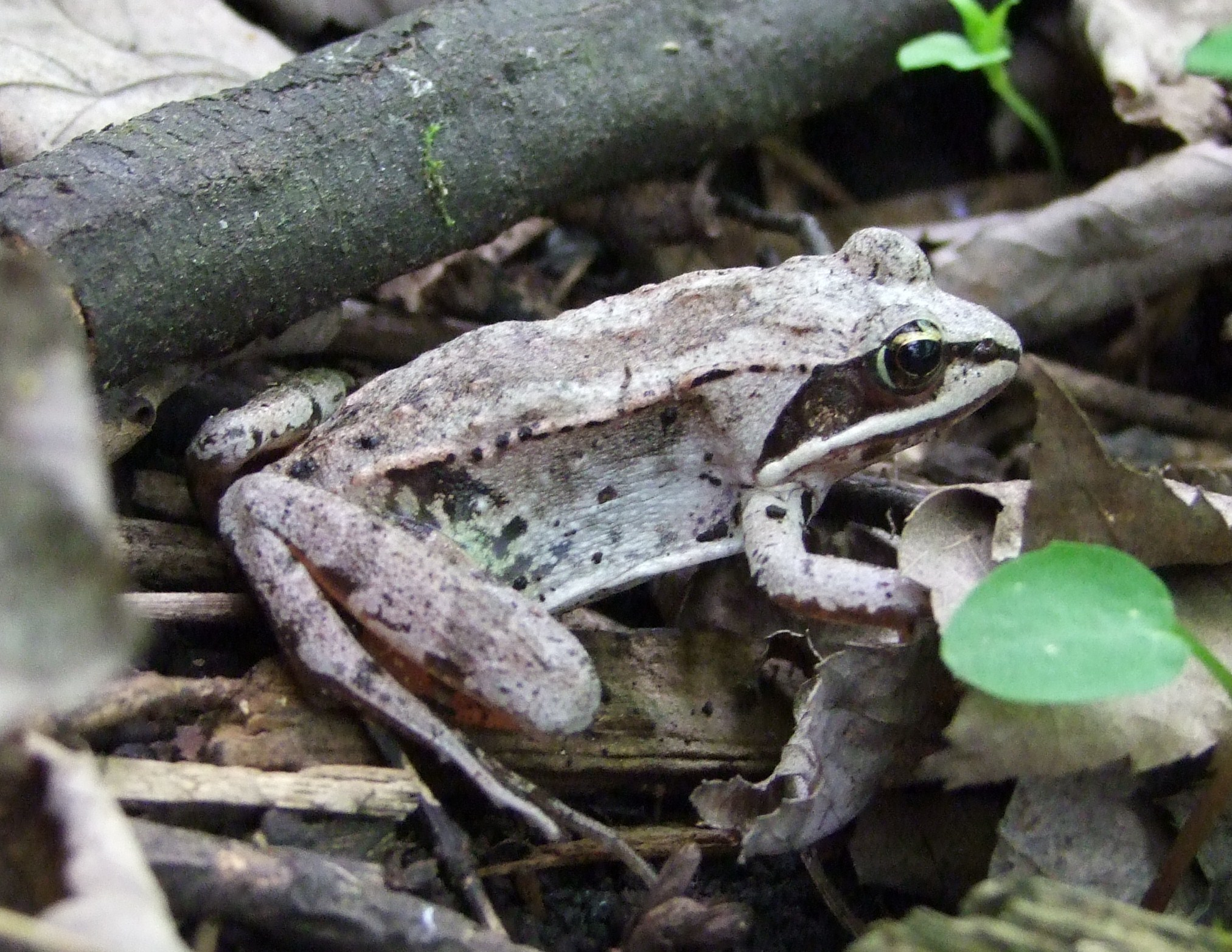 The wood frog can survive becoming frozen during the bitter North American winter.   W-van/Wikimedia Commons  (CC BY 3.0)