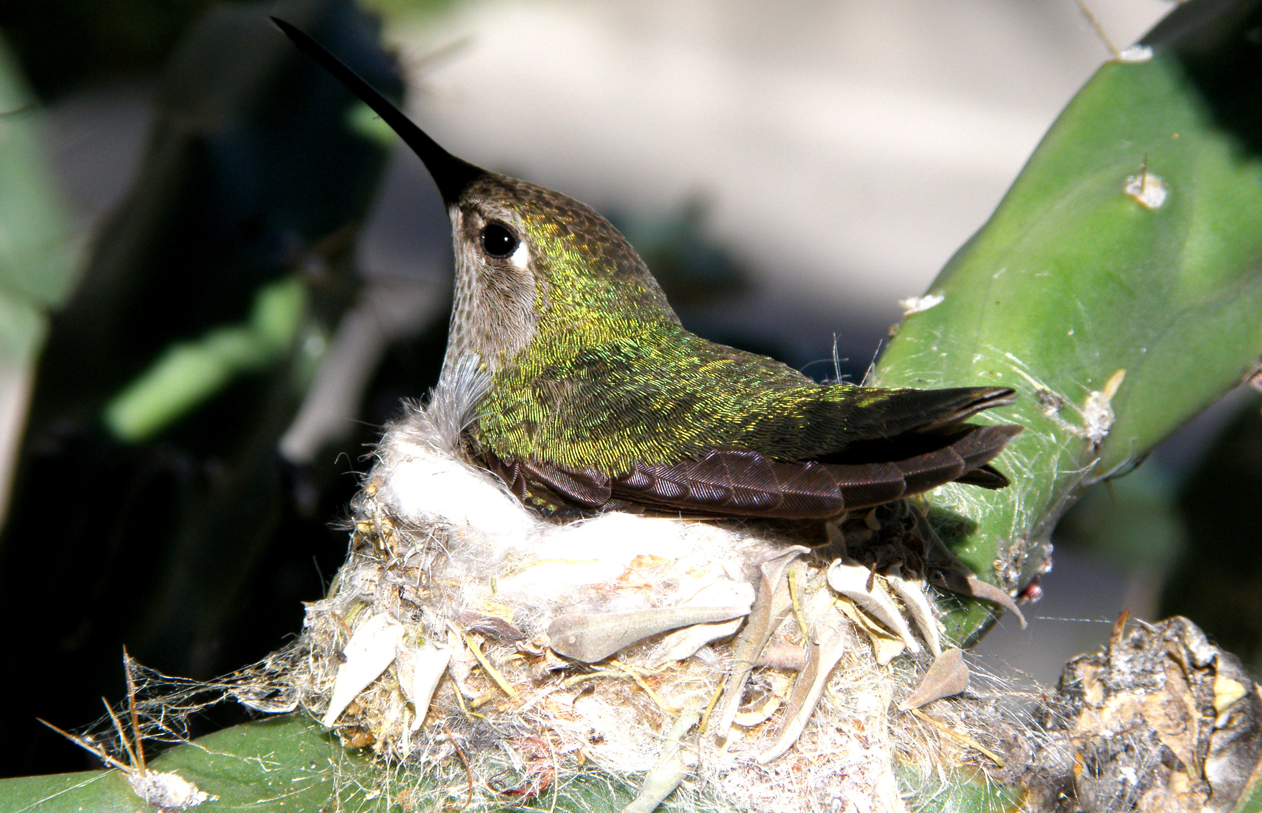 To preserve their energy reserves, hummingbirds go into a state of torpor every night.   Kevin Bondelli/Wikimedia Commons  (CC BY-SA 3.0)
