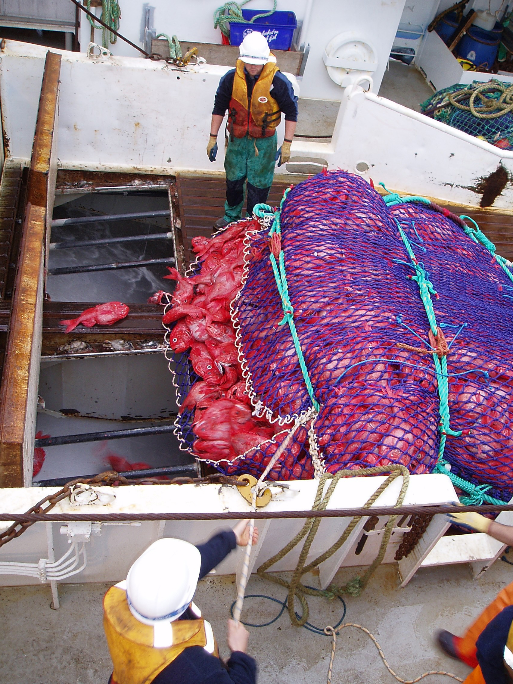 Orange roughy are regularly caught by trawlers, but because they grow so slowly, they are very vulnerable to overfishing .  CSIRO/Wikimedia Common s (CC BY 3.0)