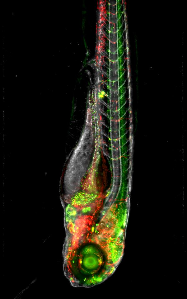 Genetic manipulation allows us to see precise structures in animal models. The tiny, transparent zebrafish larvae is the ideal candidate to use these tools, to see structures in their entirety.  Credit: Lingfei Luo, Southwest University, China,  Flickr/ZEISS Microscopy  (CC BY-NC-ND 2.0)