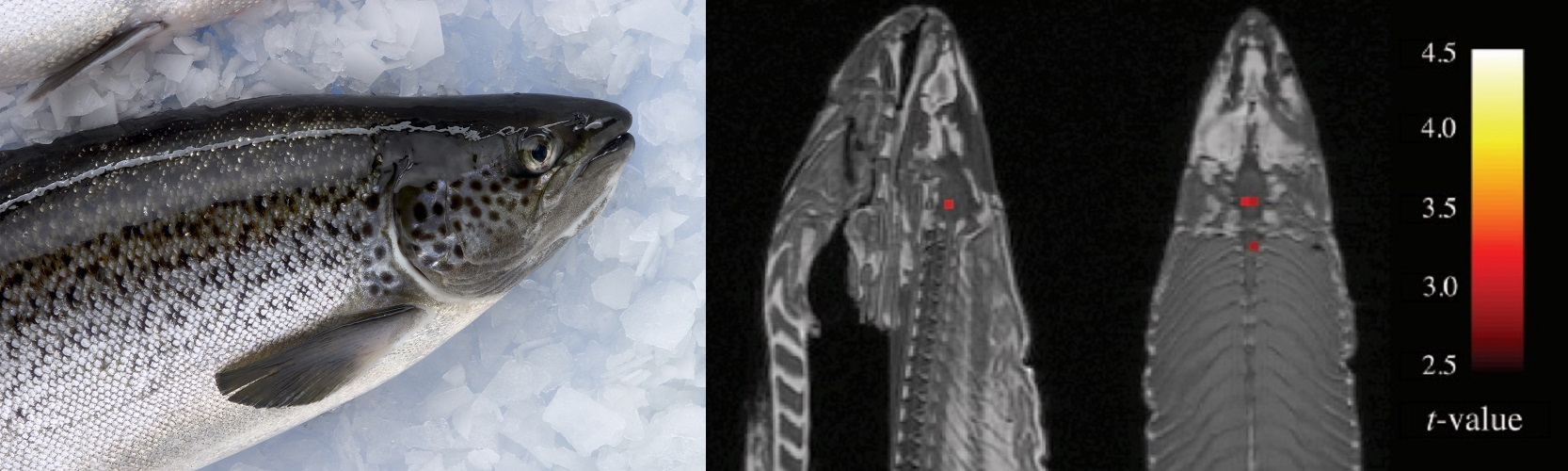 Magnetic resonance imaging revealed apparent neural activity in the brain cavity and spinal column of a dead Atlantic salmon, which was actually a statistical artefact.   Peter Whyte, CSIRO/Wikimedia Commons  (CC BY 3.0);  Bennett et al. (2010)/Journal of Serendipitous and Unexpected Results  (CC BY)