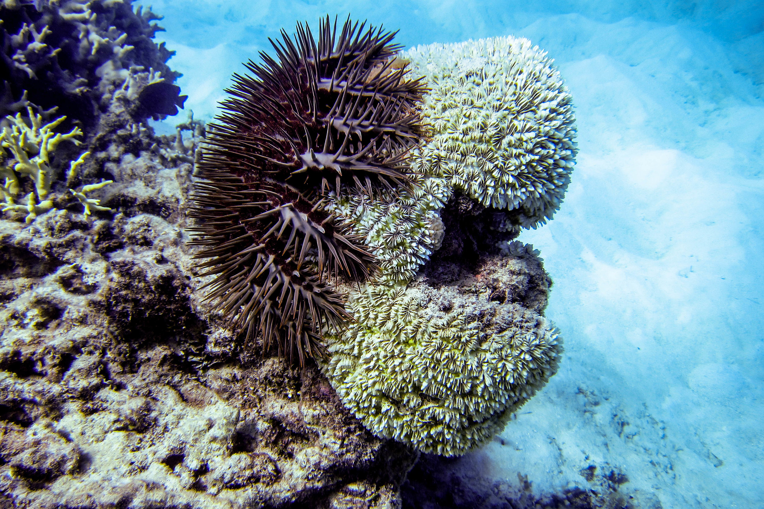 Management of the invasive crown-of-thorns sea star may be improved by monitoring environmental DNA.   Ryan McMinds/Flickr  (CC BY 2.0)