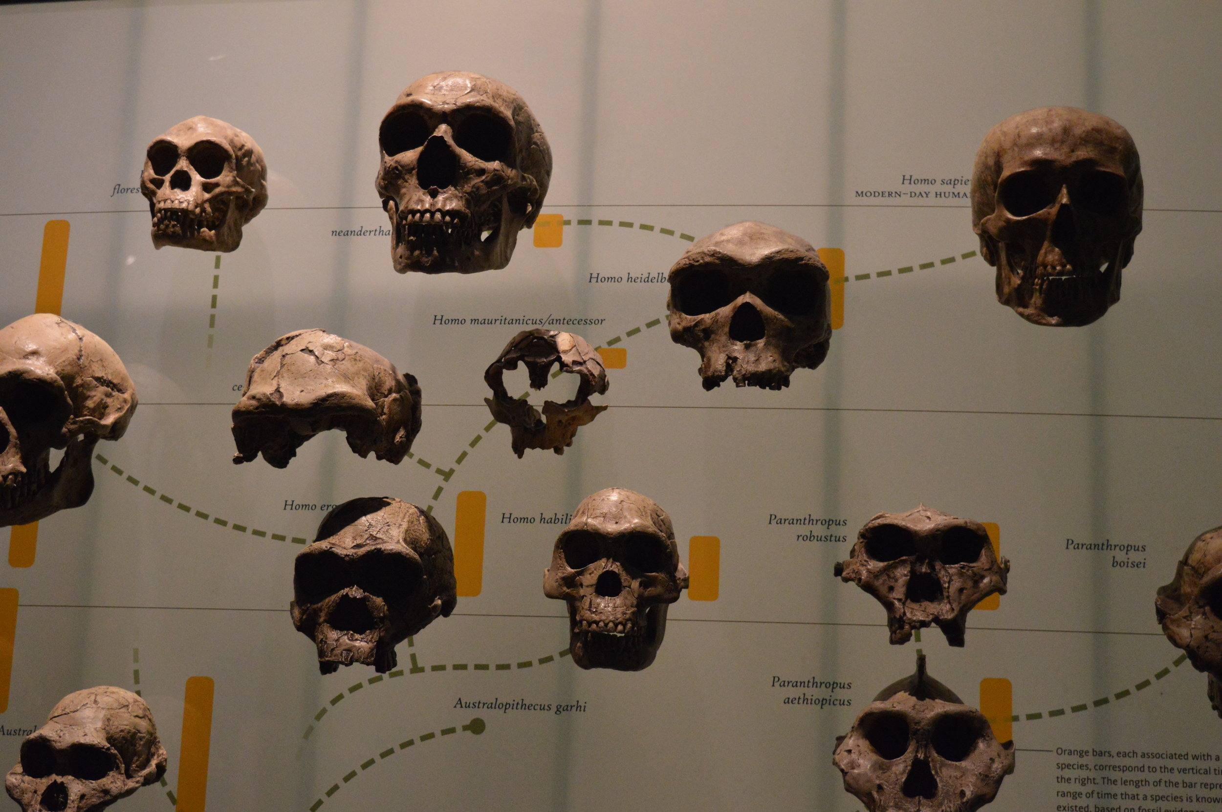 It is still unclear how  Homo floresiensis  (top left) fits into the puzzle of human evolution.  © Andrew Katsis