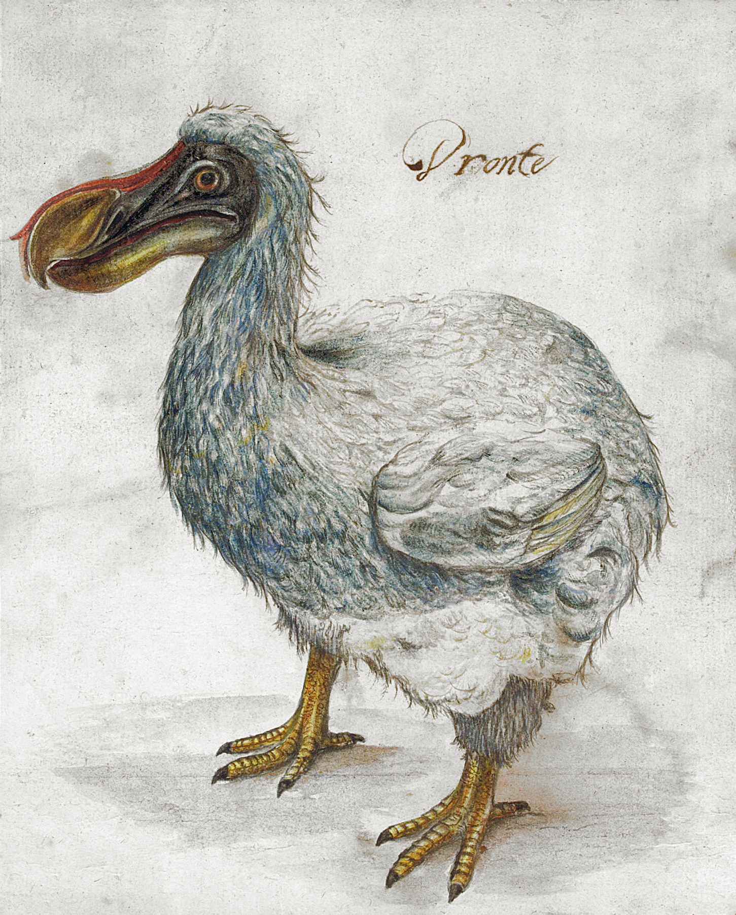 The extinct dodo, from the island of Mauritius, is one of the best known examples of island gigantism.   Unknown artist/Wikimedia Commons  (public domain)