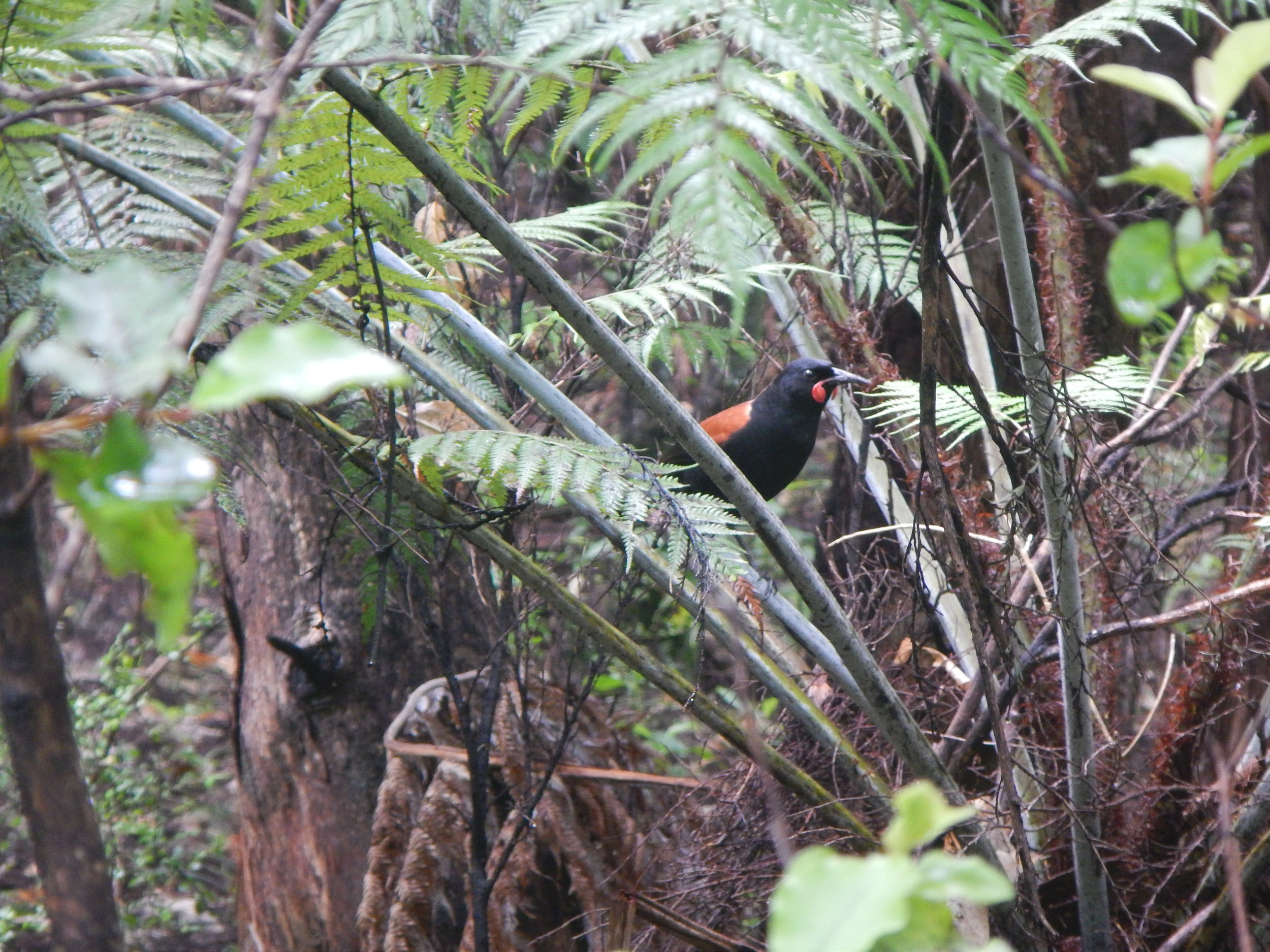 The North Island saddleback, a species considered Near Threatened on the IUCN Red LIst. © Eli Sooker