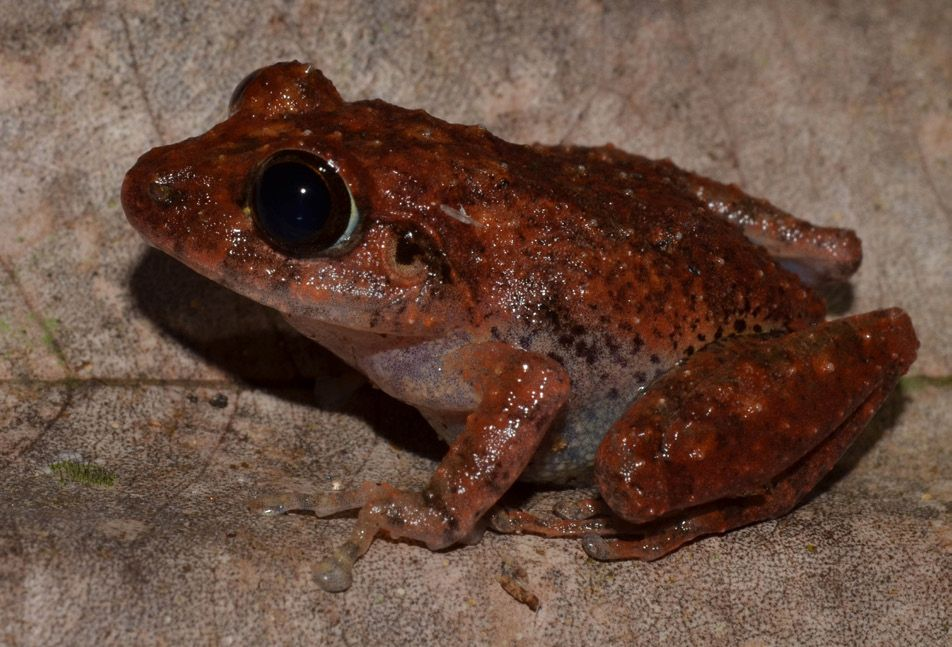 Conniff's shrub frog , Pseudophilautus conniffae,  was only identified as a distinct species in 2019.   Batuwita, De Silva, and Udugampala (2019)/Wikimedia Commons  (CC BY 4.0)