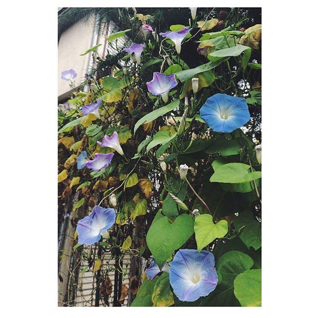 冬の朝顔 #blue